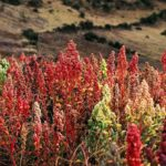 Quinoa, a very pretty seed/grain to grow.